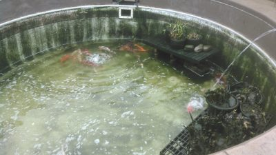 plankton pond algae maintenance