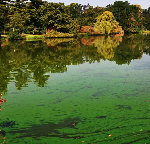 harmful algae bloom HAB Cyanobacteria pond water treatment