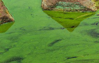 Treatment of Blue-Green Algae