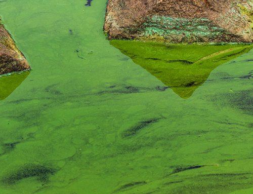 Blue Green Algae in Ponds | Treating Cyanobacteria Harmful Algae Blooms